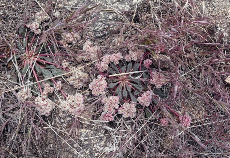 Angeles National Forest - Plant