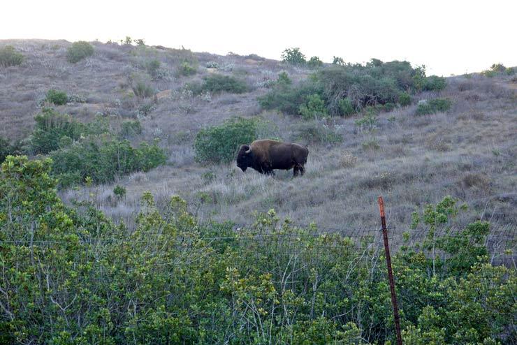 Buffalo at Catalina Island